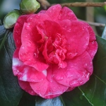 Camellia japonica 'Gigantea'