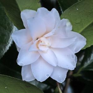 Camellia japonica 'Hagoromo'
