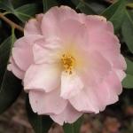 Camellia japonica 'Heckla'