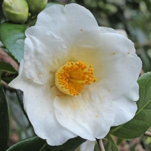 Camellia japonica 'Hectotiana'
