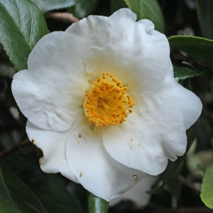 Camellia japonica 'Hectotiana'