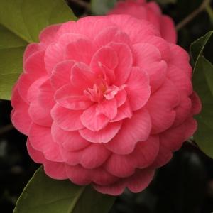 Camellia japonica 'Imperator'