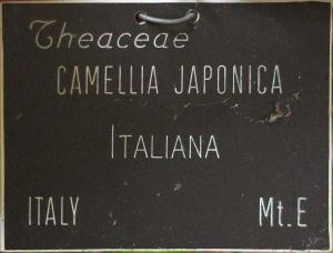 Camellia japonica 'Italiana'