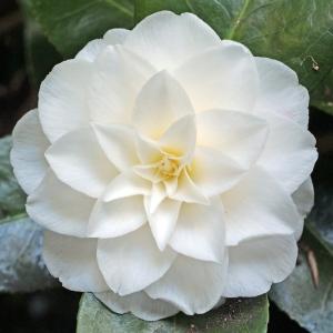 Camellia japonica 'Lalla Rookh'