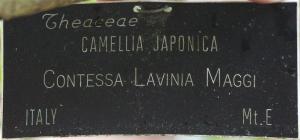 Camellia japonica 'Lavinia Maggi'