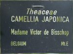 Camellia japonica 'Le Lys'
