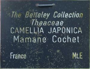 Camellia japonica 'Maman Cochet'