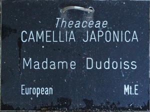 Camellia japonica 'Madame Lebois'
