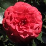Camellia japonica 'Margherita Coleoni'