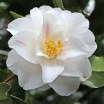Camellia japonica 'Migali'