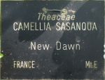 Camellia sasanqua 'New Dawn'