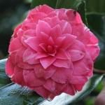 Camellia japonica 'Niobé'