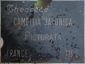 Camellia japonica 'Picturata'