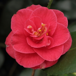Camellia japonica 'Pink Audusson'