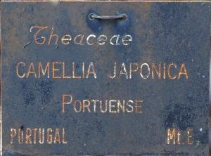 Camellia japonica 'Japonica Variegata'