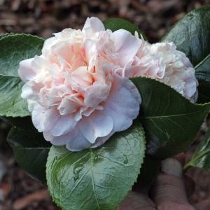 Camellia japonica 'Trionfo di Lodi'