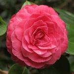 Camellia japonica 'Valtevereda'