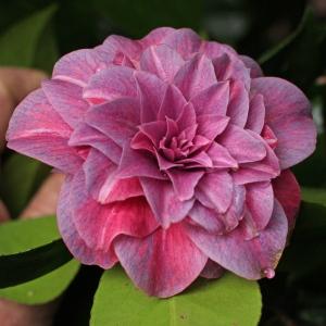 Camellia japonica 'Arciduchessa Augusta'