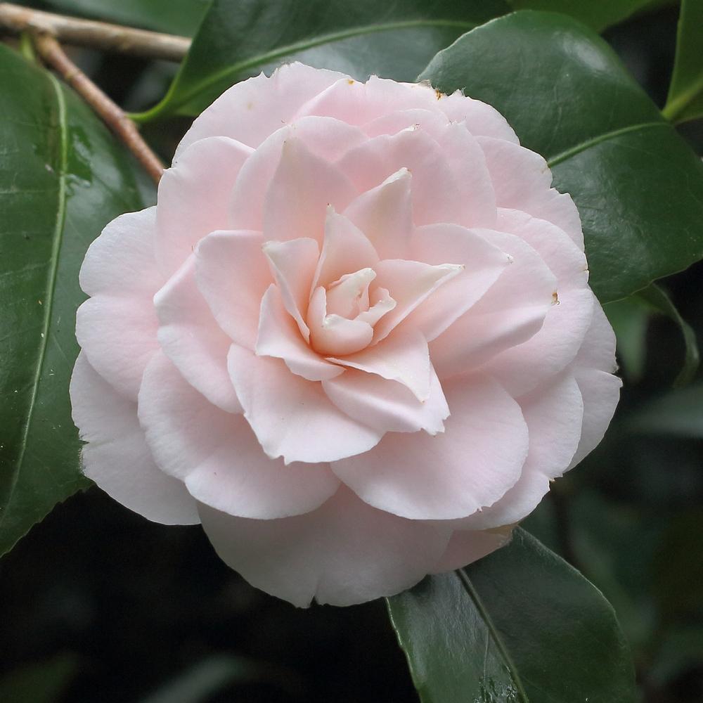 Camellia japonica 'Eleanor Hagood'