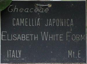 Camellia japonica 'Elisabeth' (6-009)