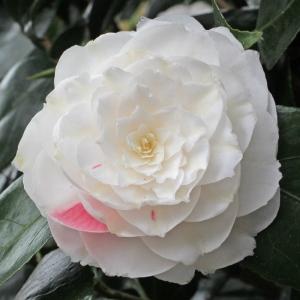 Camellia japonica 'Elisabeth'
