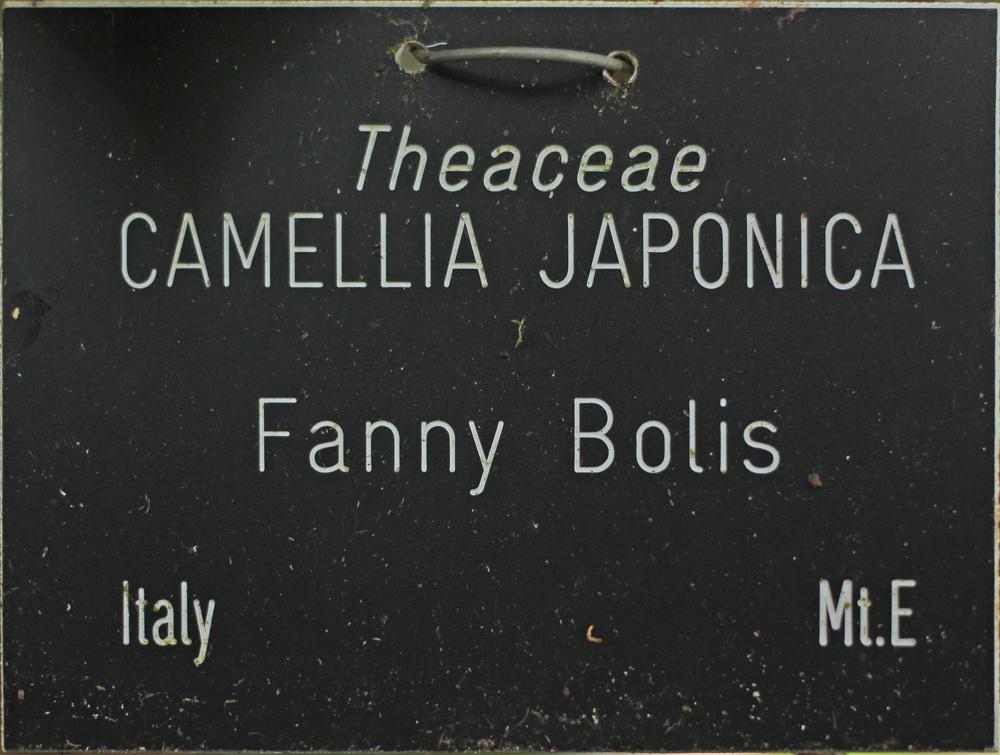 Camellia japonica 'Fanny Bolis'