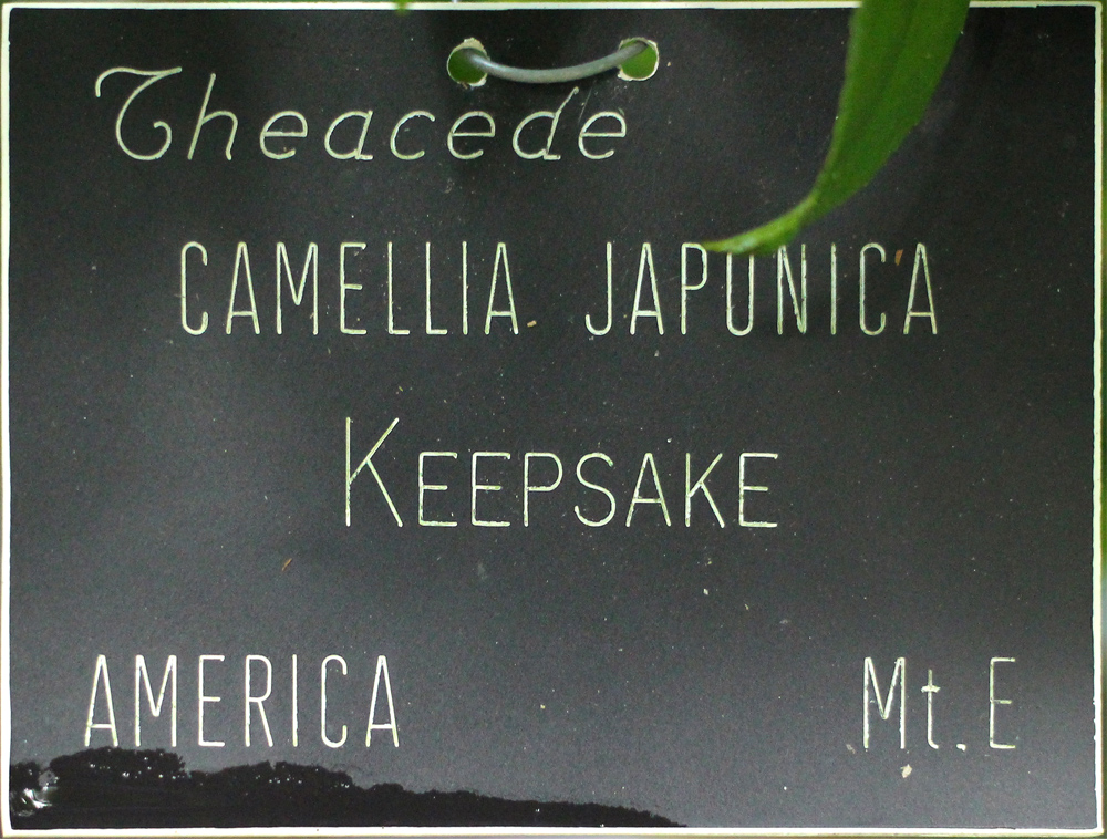 Camellia japonica 'Keepsake'