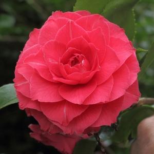 Camellia japonica 'La Pace'