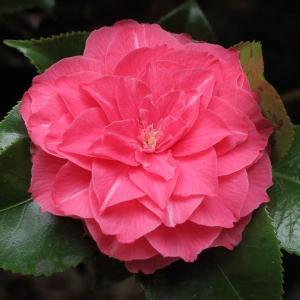 Camellia japonica 'La Pace Rubra'