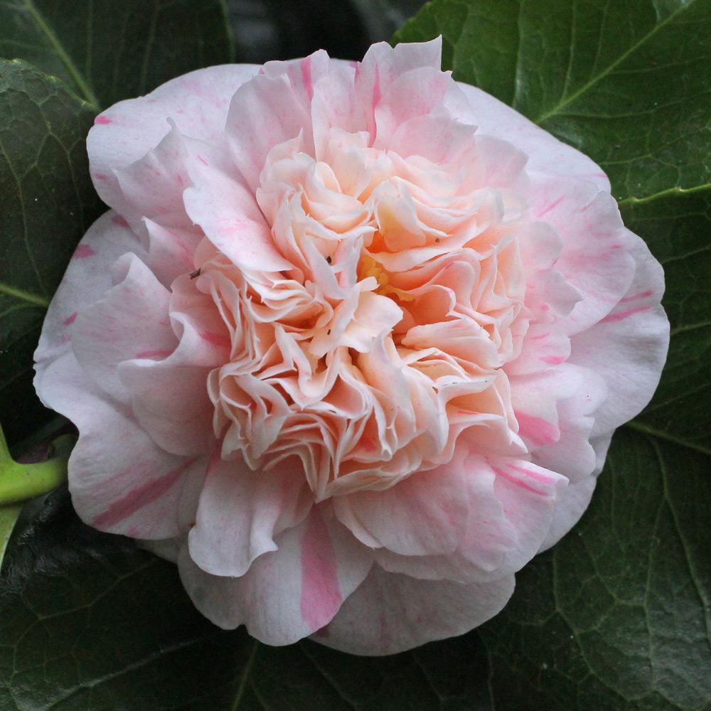 Camellia japonica 'Madame de Strekaloff'