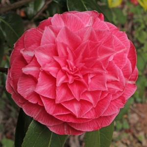 Camellia japonica 'Madame Haas'
