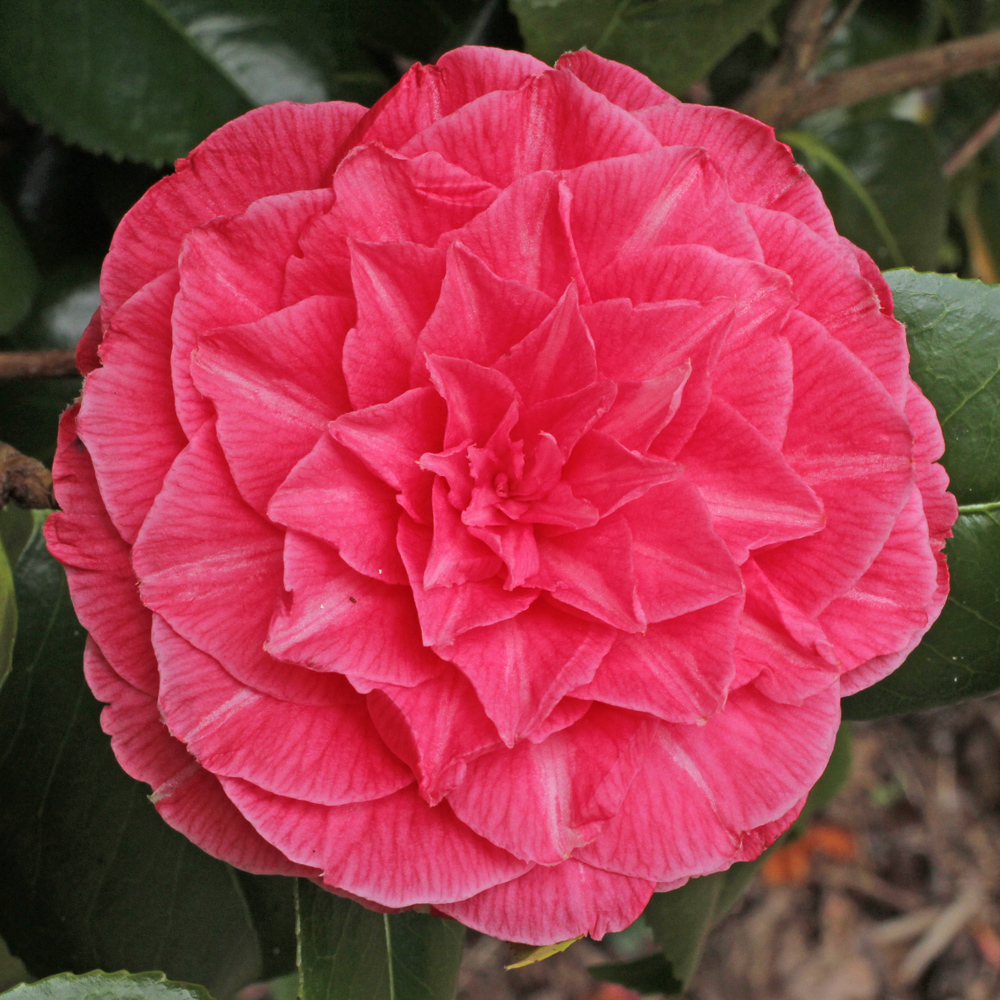 Camellia japonica 'Madame Haas'