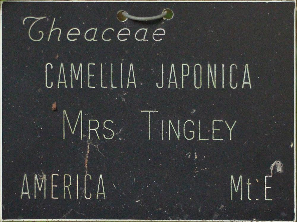 Camellia japonica 'Mrs Tingley'