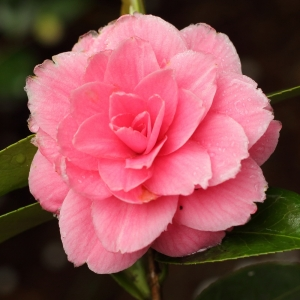 Camellia japonica 'Mrs Tingley'