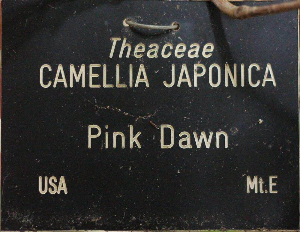 Camellia japonica 'Pink Dawn'