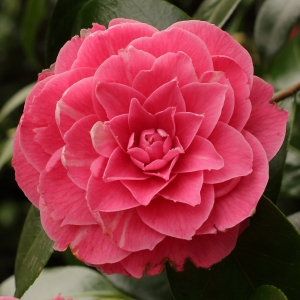 Camellia japonica 'Pink Dawn' (6-021)