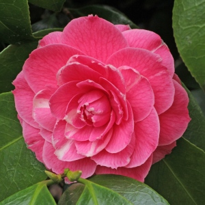 Camellia japonica 'Pink Dawn'