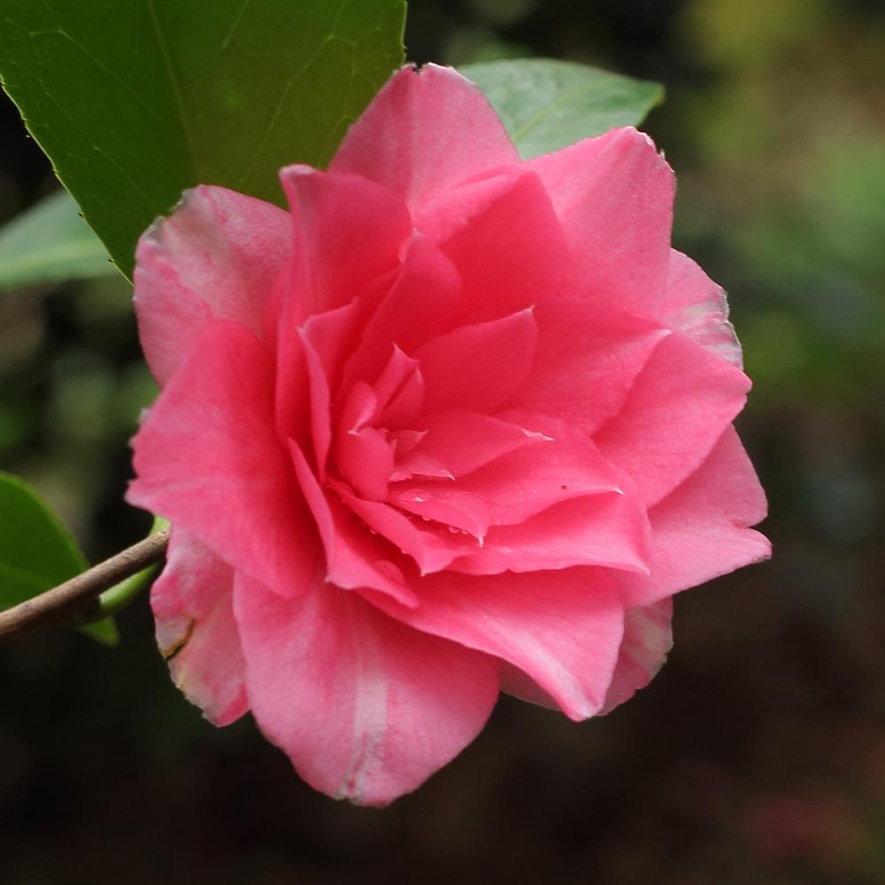 Camellia hybrid 'Polyanna'