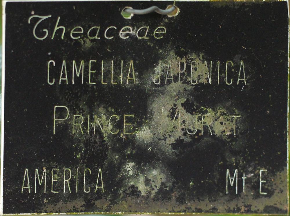 Camellia japonica 'Prince Murat'