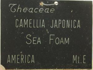 Camellia japonica 'Sea Foam'