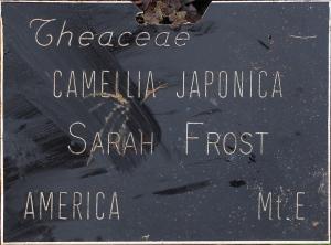 Camellia japonica 'Sarah Frost'