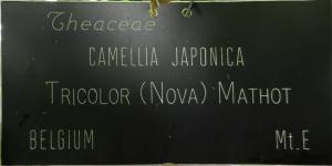 Camellia japonica 'Tricolor Nova'