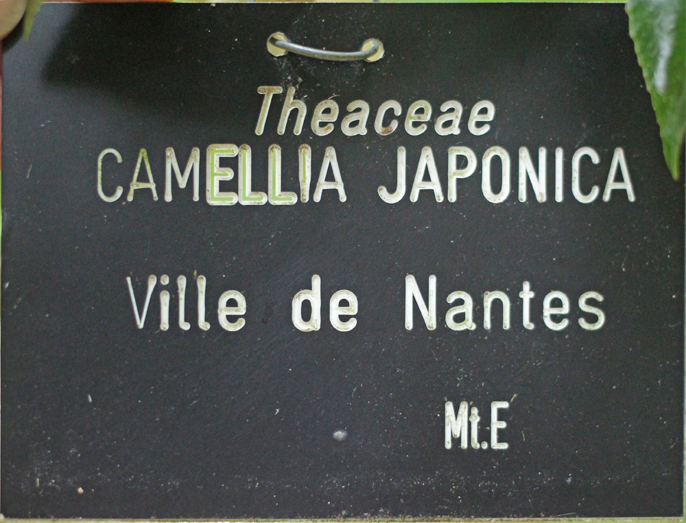 Camellia japonica 'Ville de Nantes'