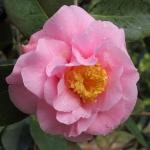 Camellia hybrid 'Lila Naff'