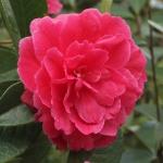 Camellia reticulata 'Songzilin'