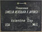 Camellia hybrid 'Valentine Day'
