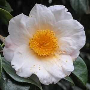 Camellia japonica 'Akebono'