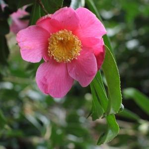 Camellia x williamsii 'C.F. Coates'