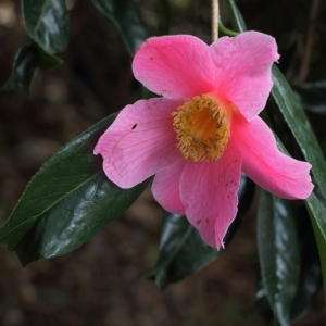 Camellia x williamsii 'C.F. Coates'