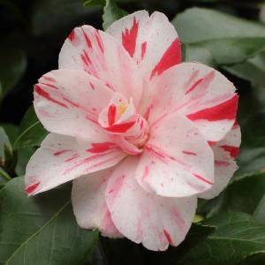 Camellia japonica 'Candy Stripe'